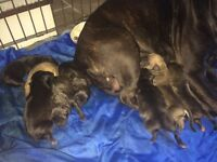 GORGEOUS STAFFIE PUPPIES FOR SALE