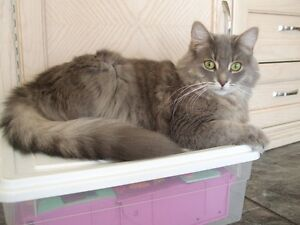 """LOST """"FLUFFY"""" GREY FEMALE CAT CHAT PERDU GRIS LONG POIL"""