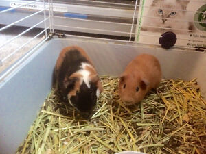 2 Male Guinea Pigs with cage/water bottle/toys/food