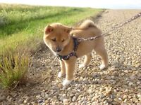 Any Shiba inu owners in Lethbridge?