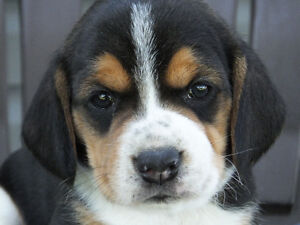 Beagles for Sale - ALL SOLD