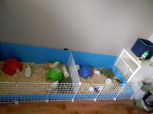 Home Raised Baby Absynnian Guinea Pigs! London Ontario image 3