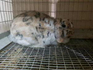 Pure bred Holland lop females