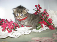 *** Adorable Rescue Kittens Up For Pre-Adoption! ***