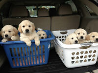 GOLDEN RETRIEVER PUREBRED PUPPIES FOR SALE