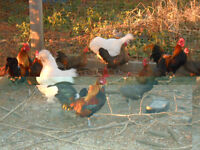 miniture hens & roosters