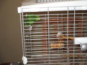 Green Baby Parrotlets For Sale