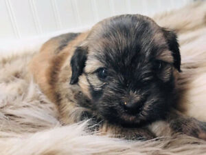 Adopt Dogs & Puppies Locally in St  John's | Pets | Kijiji