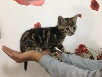 Marball Bengal kitten