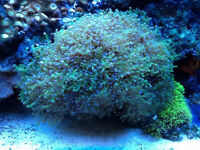 Saltwater Corals, large variety.