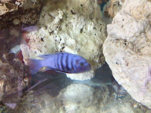 African Cichlid mbuna afra for sale