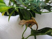 Crested Gecko babies