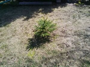 Colorado blue spruce 90 available