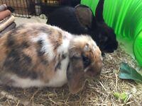 2 female rabbit