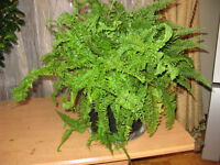 NEPHROLEPIS Potted plant