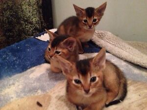 Abyssinians 2 females 1 male ready may 16