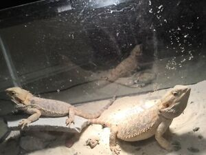 Bearded dragons 2 Brothers (Hatchlings)