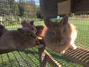 Petits lapins nains à vendre