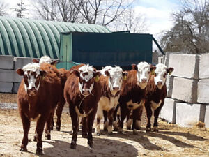 Herford shorthorn heiffers for sale