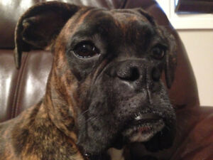 1 year old Pure bread boxer male for sale