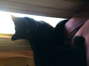 Black male healthy cat 8 mos fixed