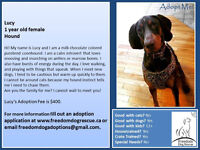 Lucy - Coonhound