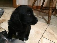 Pedigree Cocker Spaniel Pups for Sale.