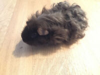 4 month old guinea pig- free to good home
