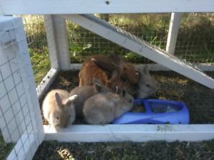 Free baby bunnies