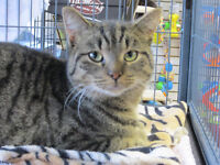 Rescued brown tabby male for adoption - Tony