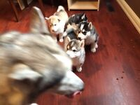 2 Huskey puppies for sale