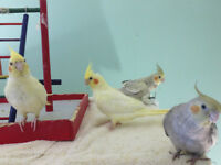 High quality baby cockatiels and two pairs