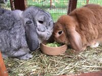 X 2 lop eared rabbits with hutches, run and extras