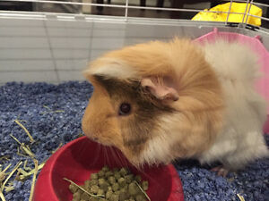 Giving away free 1 year old guinea pig.