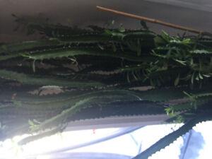 Big Cactus