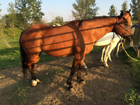 Retired pack horse (kids horse) - available end of August