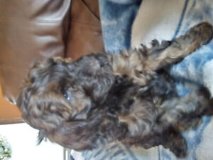 4 Goldendoodle Puppies(Miniature) For Sale