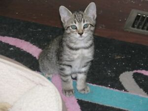 Free Female Part Manx Grey Tabby Kitten with a full tail