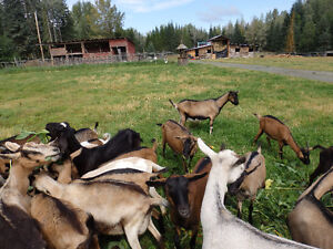 Dairy Goats/ bred and unbred does and breeding bucks for sale Prince George British Columbia image 5