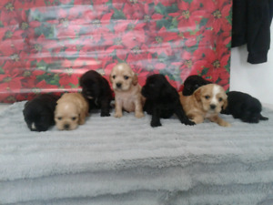 Cuddly cocker spaniel puppies - delivery available on the 15th