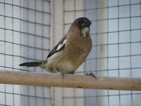 Baby society finch for sale