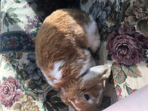 Buck for Rent (male holland lop for supervised breeding)