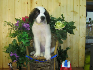 +PUREBRED SAINT BERNARD PUPPIES+