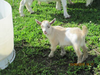 Miniature Goats, Babies And Mothers,  For Sale