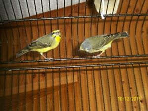 Green Singer Finches