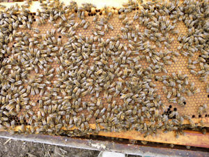 4 Frame Honeybee Nucs for sale 2017 Spring Season