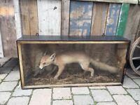 Antique vintage taxidermy fox bird wing in mouth French boxed hunting