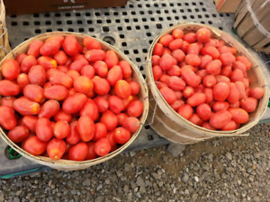 Pick your own organic Roma tomatoes
