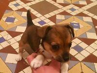 Small jackawawa puppy girl