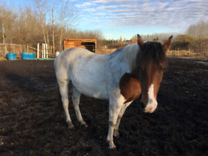 Quiet Paint Mare 19 years old
